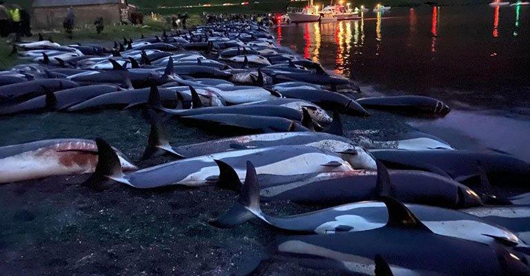 Danimarka'da yüzlerce yunus festivalde katledildi!